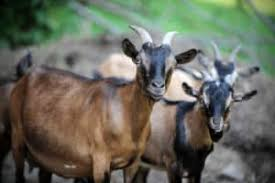 Dairy Goat Breeds Dairy Goat Breeds A Guide To The Best Breeds Of Dairy Goats