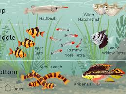 Tiger Barb Compatibility Chart Stocking Your Aquarium Evenly With The Right Fish