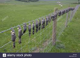 Dead moles hung on barbed wire fence near Setlle Yorkshire UK Stock
