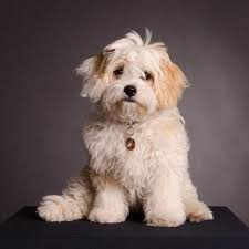 Cavachon Puppy Weight Chart Bichon Frise And Cavalier King Charles Mix The Cavachon