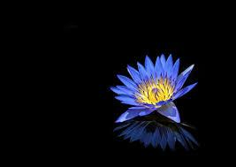 Blue Flower On Black Background Free Stock Photo Stock