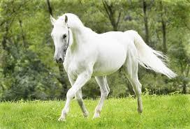 white horses. Simple Horses Horse And White Horses