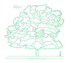 Oak Tree Size Chart Deciduous Trees Dimensions Drawings Dimensions Guide