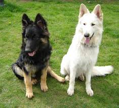 white and black german shepherd. Simple And White And Black German Shepherd In H