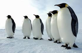 Bildresultat för pingvin