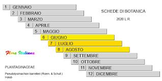Pseudolysimachion barrelieri [Veronica di Barellier] - Flora Italiana