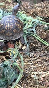 Turtle Id Turtle Identification Turtle Forum