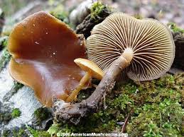 Image result for poisonous mushrooms