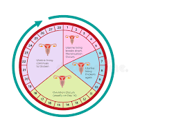 Womens Fertility Cycle Calendar With Different Stages