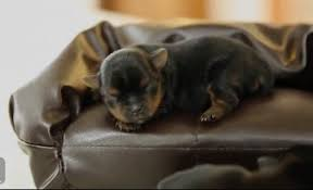 Old Couches 5 Day Old Yorkie Puppies On Miniature Couches Are Yup Adorable
