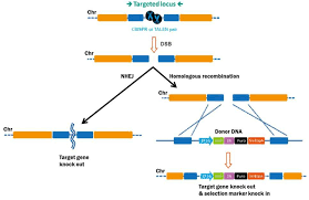 Genome Editing Ge Which Should I Choose Talen Or Crispr Genecopoeia