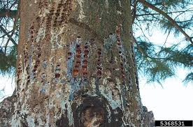 Pine Borer Sandra Mason Holes In Trees Borer Or Bird News Gazette Com