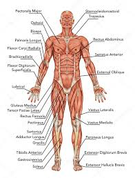 Anterior View Of Muscles Anatomy Of Man Muscular System