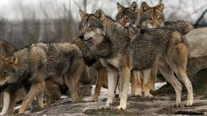gray wolf pack playing.  Playing Gray Wolves And Gray Wolf Pack Playing