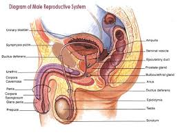 male reproductive system (lesson 0405) tqa explorer Male Plug Diagram how many parts does the diagram below have? 110 male plug wiring diagram