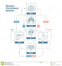 Human Circulatory System Vector Illustration Diagram Poster