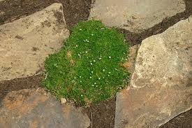 dog friendly ground cover. Unique Cover Dog Friendly Ground Cover This Soft Matlike Ground Cover Can Take  Partial Or Full Sun And Requires Consistent Watering That Will Need To Increase With  In Cover