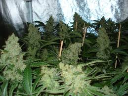 A Northern Light Plot Summary Northern Light Nirvana Seeds Cannabis Strain Info