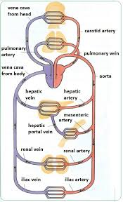 Major blood vessels of the body. Arteries Veins And Capillaries Structure And Functions Biology Notes For Igcse 2014