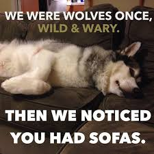 We were wolves once, Wild & Wary. Then we noticed you had sofas.  @rosethemalamute #malamutesofinstagram | Funny animals, Animals friends,  Wolf