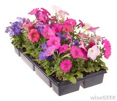 petunias look great in flower beds hanging baskets or containers