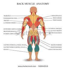 Muscle Chart Template Awesome Human Muscle Anatomy Idealistus Dd44e9446e44c544