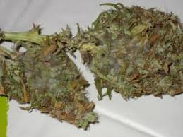 cannabis mold
