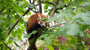 lesser cute red panda wallpaper