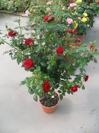 El Jardín De La Alegría  Cuidados Cuidados De Los Rosales