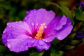 purple hibiscus svabonline purple hibiscus