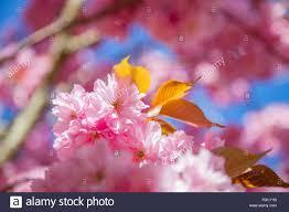 Cherry Blossom Backdrop Close Up View Of Beautiful Sakura Tree Blossom Backdrop