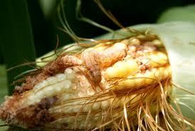 Corn Earworm Control Corn Earworm Management