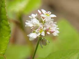 Fagopyrum esculentum - Wikipedia