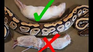 Ball Python Size Chart What Size Rodent Should You Feed Your Snake