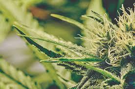 marijuana should not be legalized the peak talks