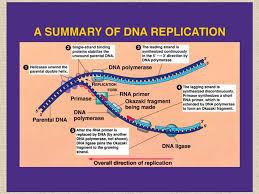 Dna Replication Process Barca Fontanacountryinn Com
