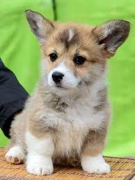 cutest corgi puppy. Fine Puppy Super Cute Welsh Corgi Puppies  Johannesburg Public Ads Dogs U0026 Puppies Inside Cutest Puppy O