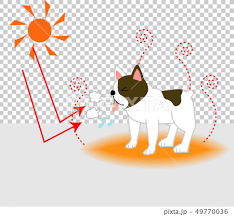 Heat stroke, French bulldog in summer sizzling - Stock ...