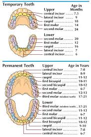 2 Year Old Teeth Chart Art The Chart At The Top Shows The Teeth Of A Child 2 To 2 1