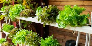 hydroponic farming at home how to grow safer better and er food in your hdb flat