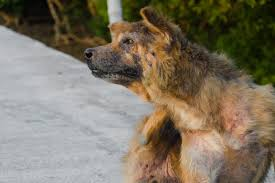 Itchy and Losing Hair in Dogs - Definition, Cause, Solution ...