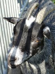 Light Livestock Goat Lichtspiel Animal World Light Livestock Free Image