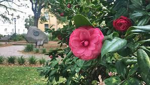 camellias in telfair square in savannah