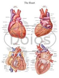 Anatomy Of The Heart Chart Heart Anatomy Chart