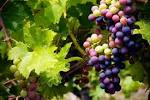 druiven afvallen