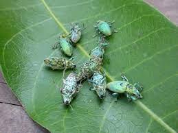 ช่วยด้วยครับ แมลงปีกแข็งสีเขียวตัวเล็กๆมากินยอดอ่อนมะม่วงสุดรักหลายต้นที่กำลังออกดอกงาม  - Pantip