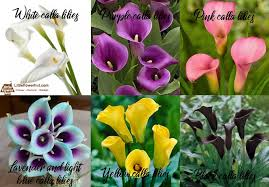 what is calla lilies meaning history