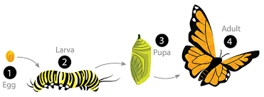 <b>Complete</b> Metamorphosis in Insects | Ask A Biologist