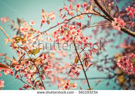 spring season stock images royalty images vectors  beautiful cherry blossoms or sakura pink flowers full bloom in spring season