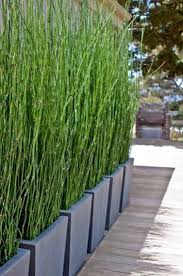 horsetail grass in planters can work as a living privacy screen